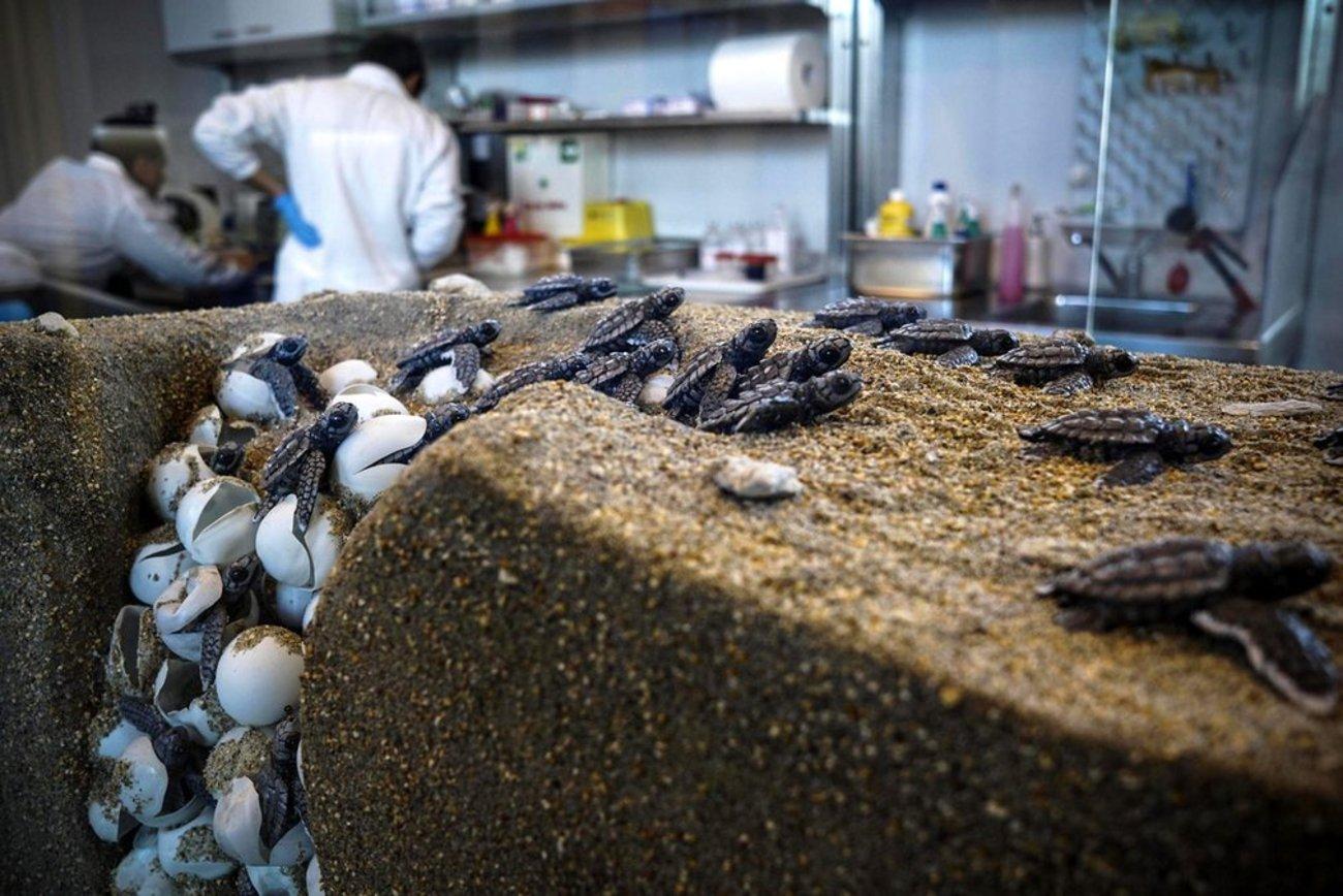 بچه لاک پشت های تازه متولدشده در مرکز تحقیقات لاک پشت دریایی در پورتیسی ایتالیا