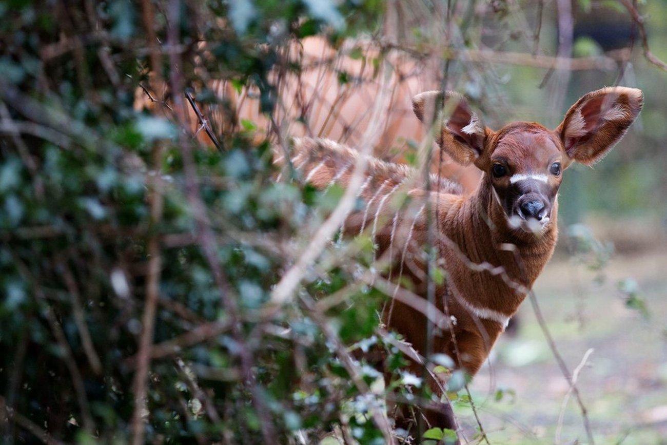 گوزن جنگلی متولد باغ وحش دوبلین ایرلند