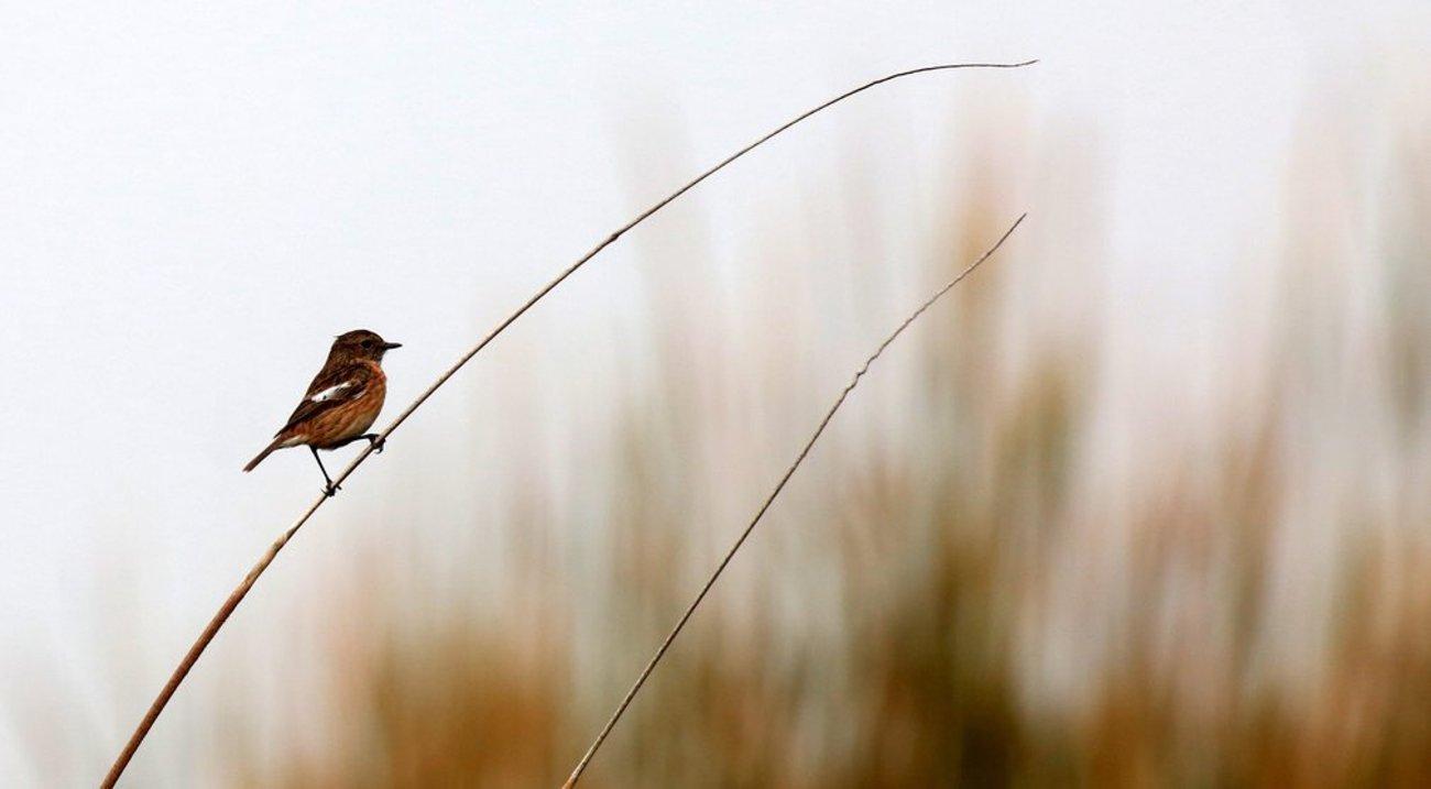 پرنده آوازه خوان stonecht در ساحل جنین در فلسطین اشغالی