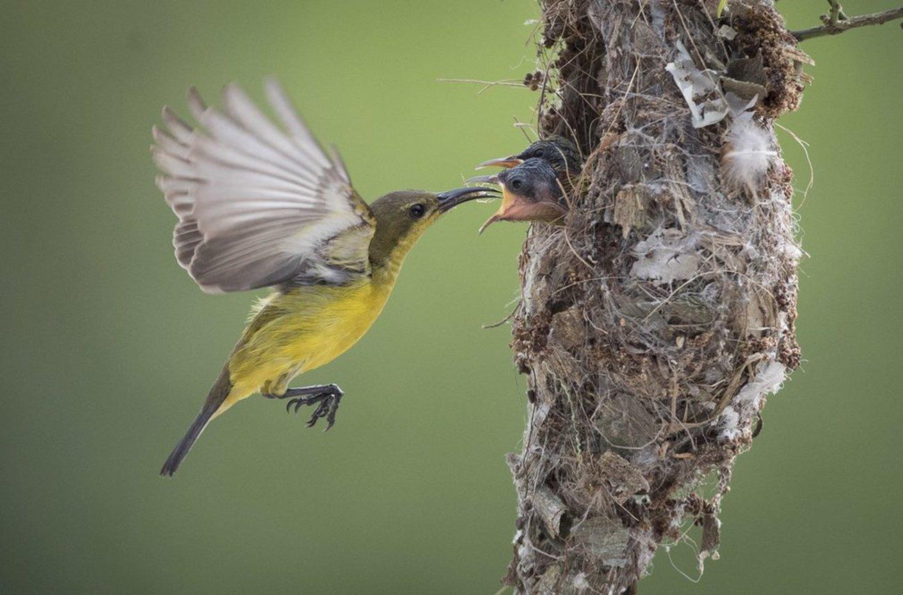پرنده زیتون خوار در حال غذا دادن به جوجه هایش در سلانگور مالزی