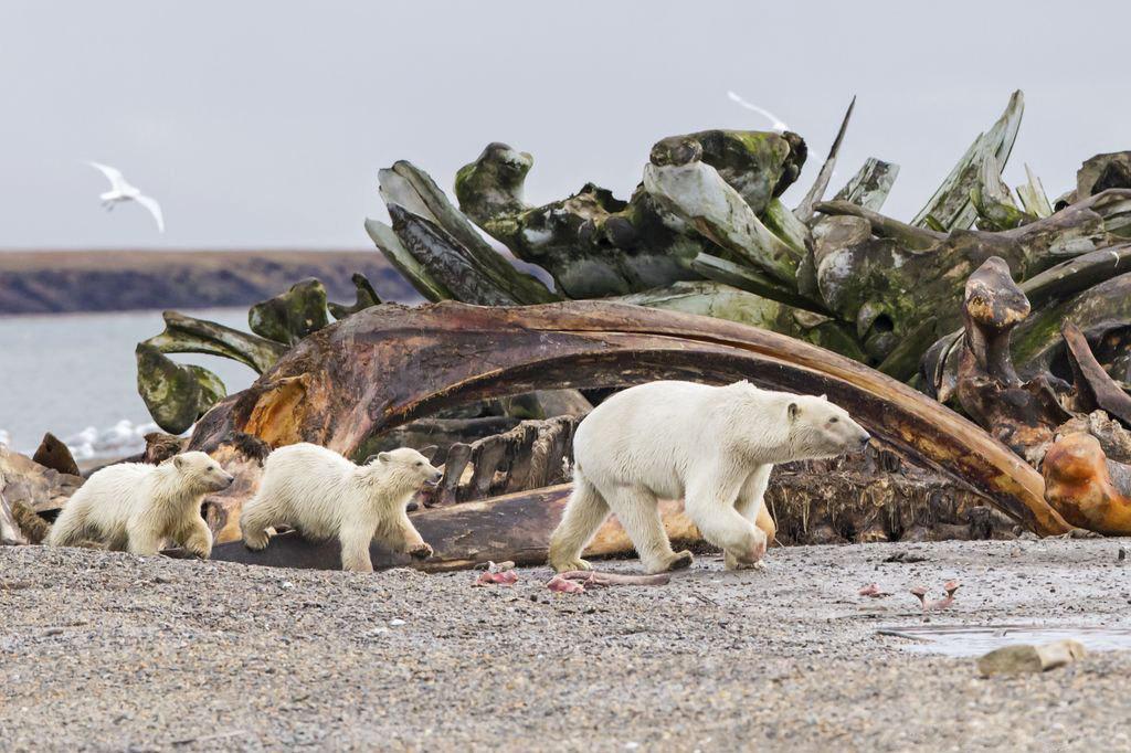 عکس روز نشنال جئوگرافیک؛ رژه خرس قطبی