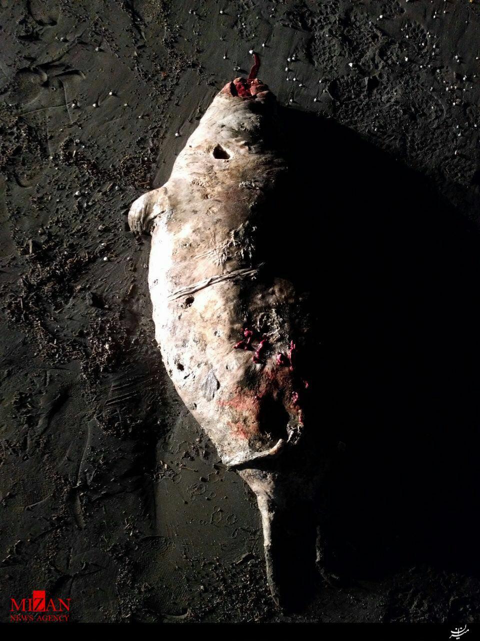 لاشه دو فوک خزری دیگر پیدا گردید +عکس