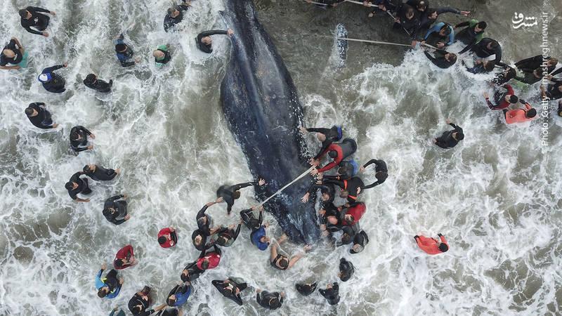 تلاش نافرجام مردم بومی و گروه نجات برای بازگرداندن نهنگی که در سواحل آرژانتین گیر افتاده بود.