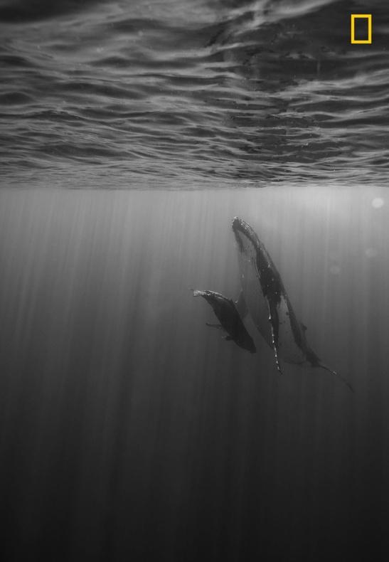 عکاس: دالیدا اینس / بچه نهنگ در حال شیر خوردن
