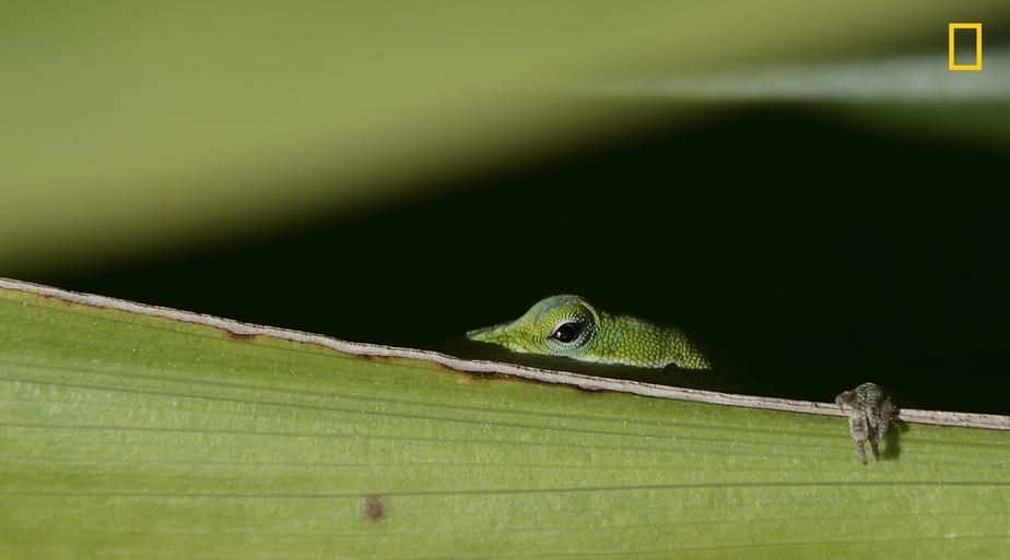 عکاس: لیمین ژو / پنهان شدن مارمولک لای برگ سبز بزرگ