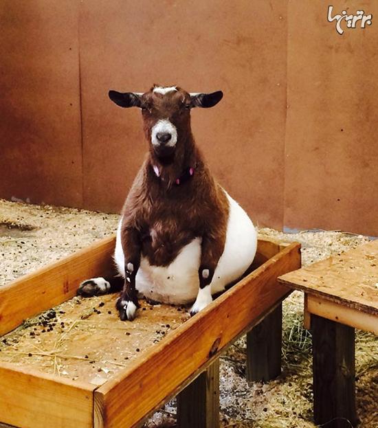 حیوانات را در دوران بارداری دیده بودید؟