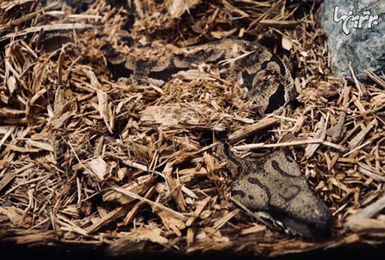 عکس ها جالب از استتار مارها در طبیعت