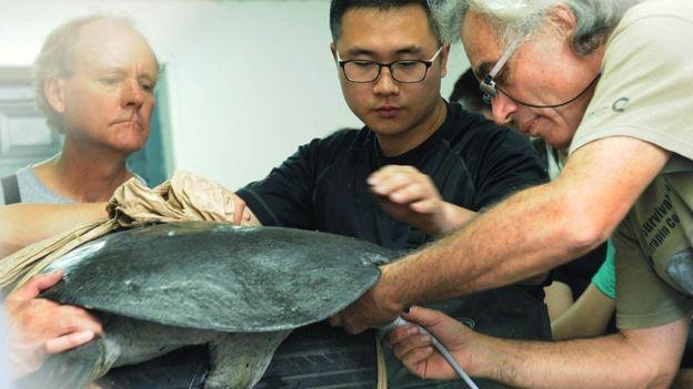 مرگ یکی از چهار لاکپشت یانگتسه باقیمانده در جهان+عکس