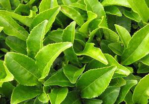 خرید تضمینی بیش از ۱۰۰ هزار تن چای از چایکاران شمال کشور