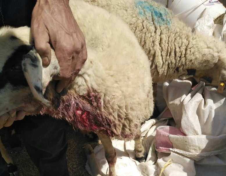حمله حیوان درنده به گوسفندان در زرند