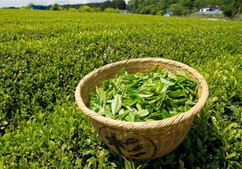 پرداخت ۲۱۳ میلیارد از مطالبات چایکاران شمال/خرید برگ سبز چای ادامه دارد