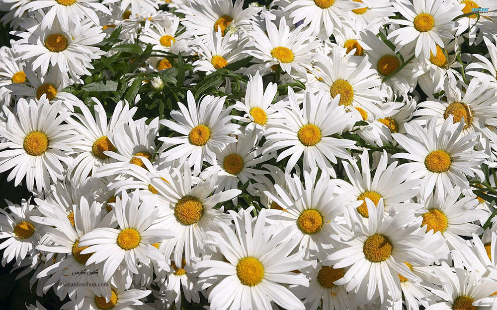 گل مینا و خواص درمانی آن